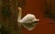 Vincent-FRADET-perso-Cygne tuberculé- Cygnus olor-Annecy 25 fev 2013